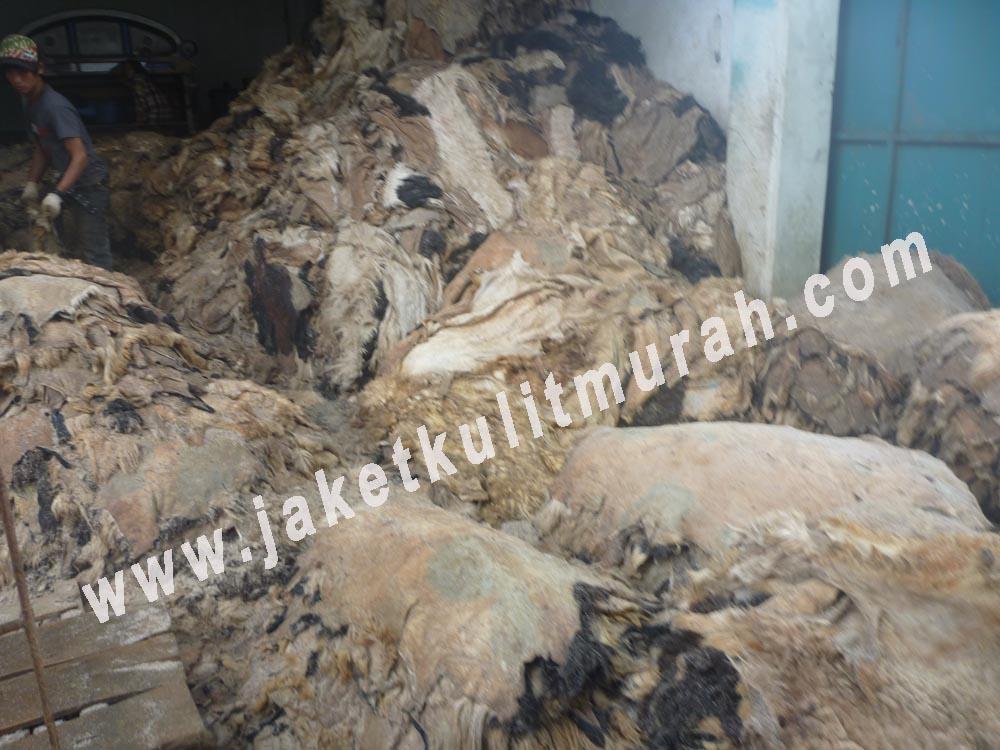 kulit domba yang baru dikumpul